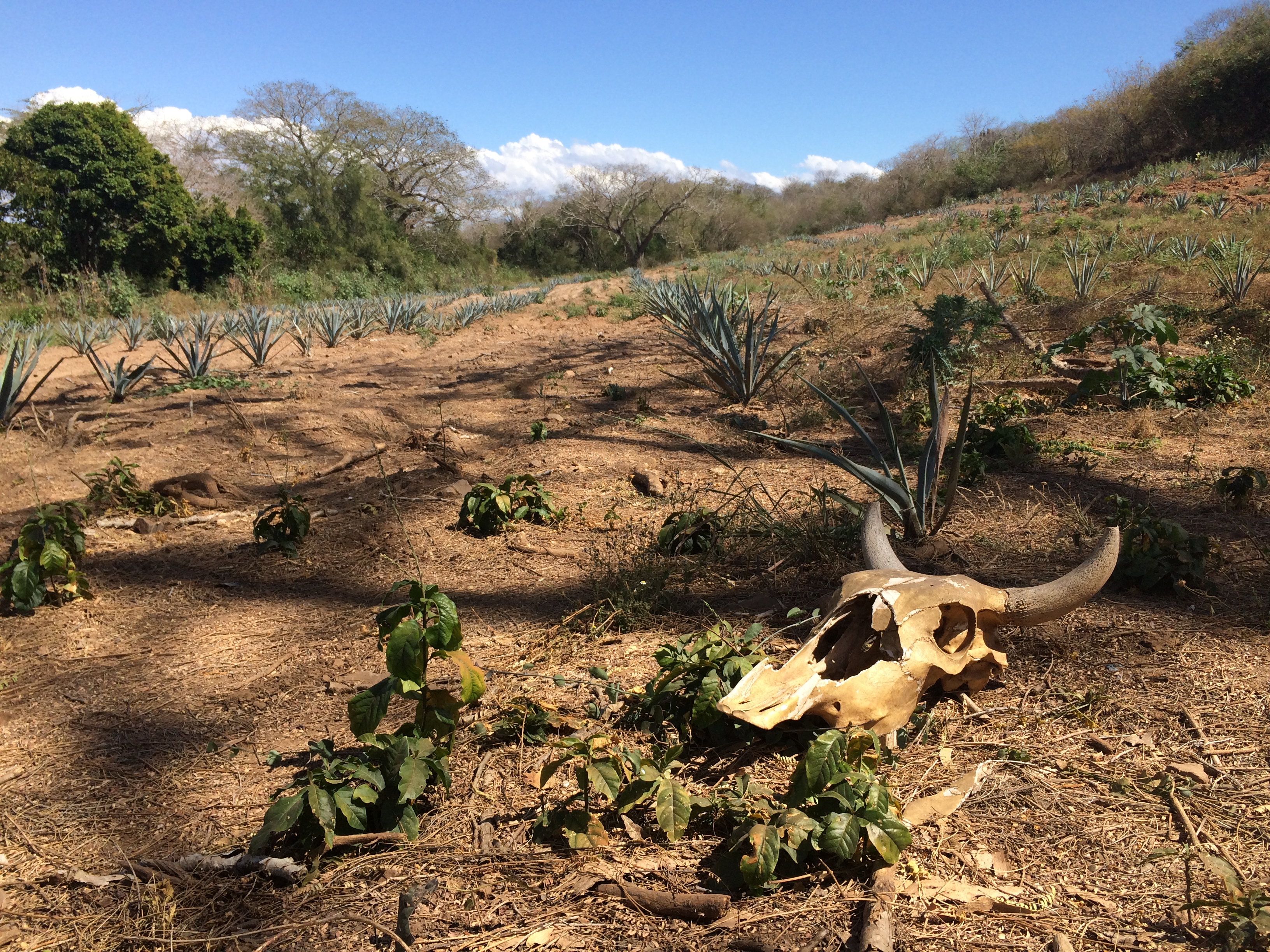 Agave plants grow near La Hacienda Los Osuna.