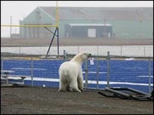 polar-bear-football-barrow