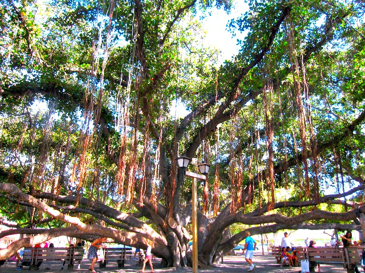 maui banyan tree