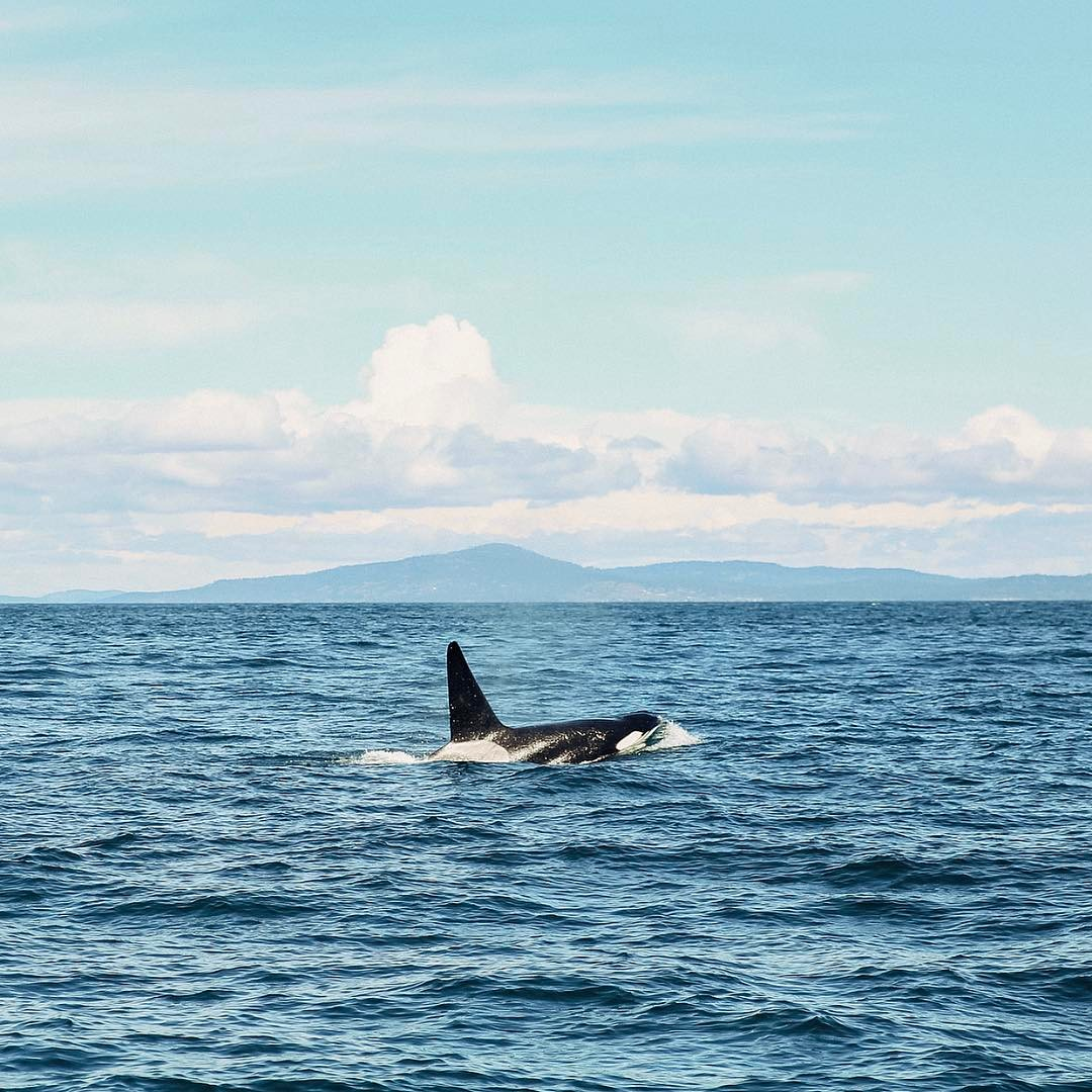 Transient Orcas are among us! We lucked out getting to witness these beautiful creatures in the wild. An experience we'll never forget!